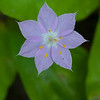 Star Flower (Lysimachia latifolia)