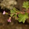 Bicknel's geranium