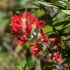 Coast paint brush or Indian paint brush