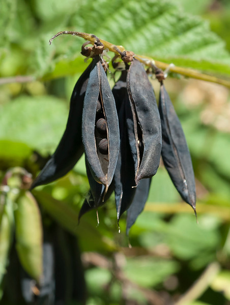 Giant vetch seed pods