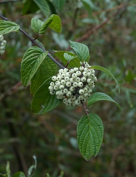 Brown dogwood  (Cornus glabrata)