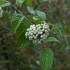 Brown dogwood  (Cornus glabrata)