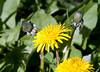 Magellan Daisies (Senecio magellanicus).  Los Glaciares National Park (South Zone).  Southern Patagonia.  Santa Cruz province, Argentina.