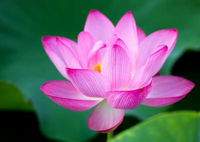 Indian Lotus 3