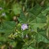 Cheeseweed  (Malva parviflora)