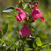 Hot lips (Salvia microphylla)
