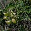 Locoweed or Milkvetch