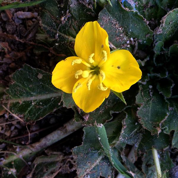 Sun cup  (Camissonia ovata)