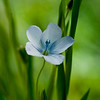Narrow-leaved Flax    (Linum bienne)