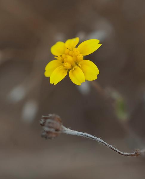 Contorted primrose  (Camissonia contorta)