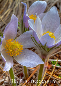 Pasque Flower - Spring Has Sprung