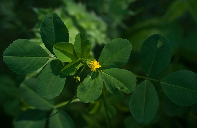 Bur clover