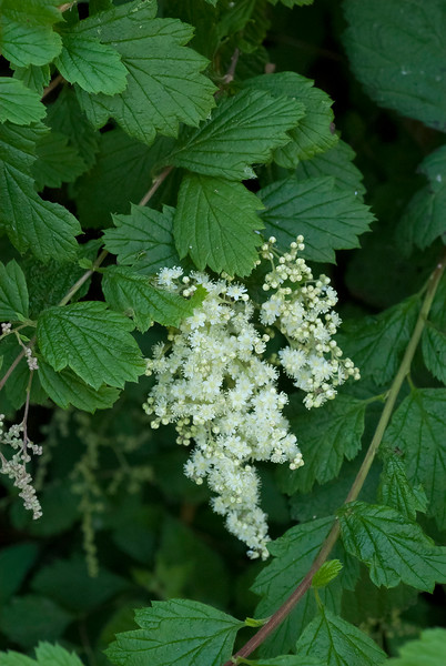 Ocean spray - Cream bush   (Holodiscus discolor)