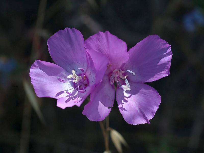 Lewis' clarkia  (Clarkia lewisii)