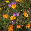 California poppies and Lewis' clarkia