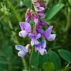 Common Pacific Pea   (Lathyrus vestitus)