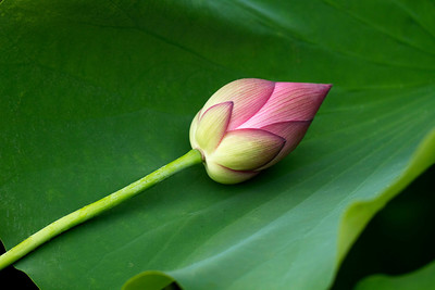Lotus at Rest