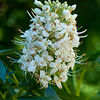 California buckeye  (Aesculus californica)