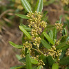 Coffeeberry  (Rhamnus californica)