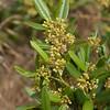 Coffeeberry  (Rhamnus californica)