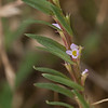 Grass Poly / Hyssop Loosestrife