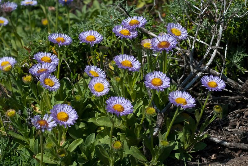 Seaside daisy   (Erigeron glaucus)