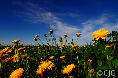 Dandelions against the sky.