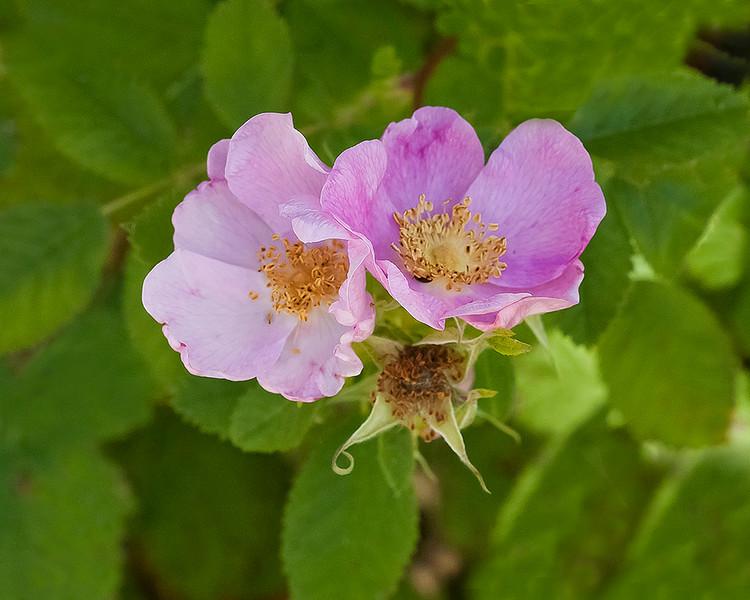 Californi wild rose