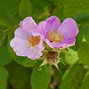 Californi wild rose