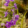 Coast larkspur