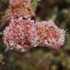 Sea cliff wild (Dune) buckwheat