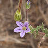 Long-beaked filaree  (Erodium botrys)