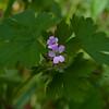 Bicknell's geranium (Geranium bicknellii)