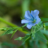Blue-flowered flax      (Linum lewisii)