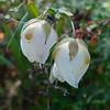Globe lily - Fairy lantern  (Calochortus albus)