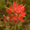 Coast paint brush or Indian paintbrush