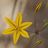 Golden brodiaea  (Triteleia ixiodes)