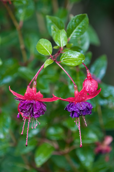Fuschia in the Morning Dew