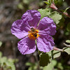 Cretan Rock-rose