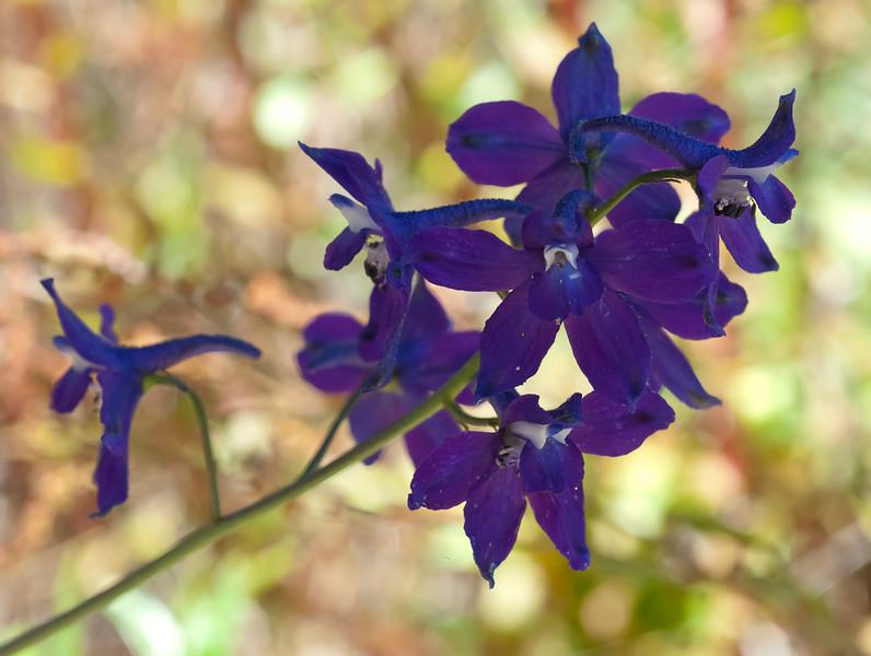 Hutchinson's larkspur (Delphinium hutchinsoniae)