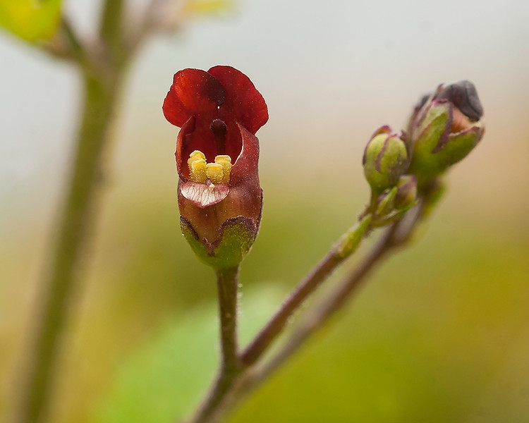 Coastal figwort or Bee plant