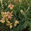 Nuttall's locoweed - Milkvetch  (Astragalus nuttallii)