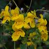 Common Monkeyflower  (Mimulus guttatus)