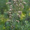 Telegraph weed  (Heterotheca grandiflora)