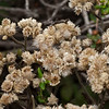 California cudweed - Everlasting (Gnaphalium californicum)