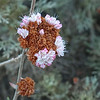 Seacliff wild (Dune) buckwheat
