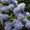 Wild lilc or Blue blossom