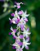 Orchid.  Nevis Botanical Garden.  Nevis, West Indies.