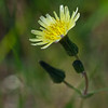 Common Sow-thistle   (Sonchus asper)