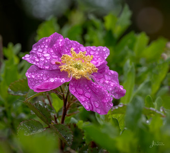 Primrose with morning dew